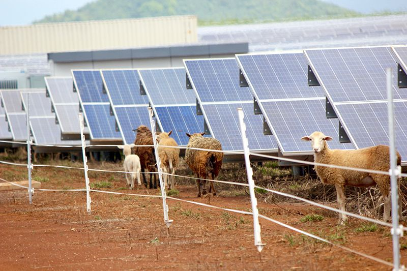 sheep-on-solar-farm